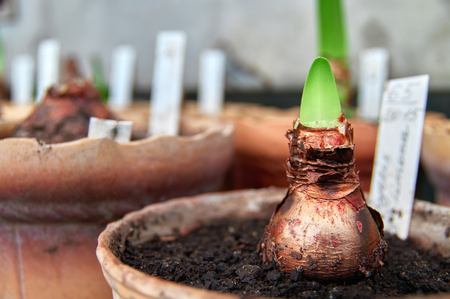 Growing flower bulb in pot. Concept of spring awakening, revival, growth. Copy space.