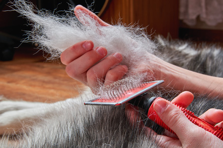 Concept spring moulting dog. Boy holds in hands lump wool Siberian husky and rakers brush. Husky dog lies on wooden floor. Close-up. Stockfoto