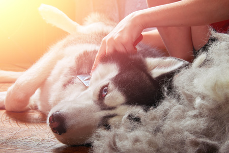 Concept moulting dogs. Owner comb wool with Siberian husky. Husky dog black and white with blue eyes lies next to bunch combed wool on wooden floor lifting hind paw. Banque d'images