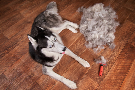 Concept annual molt, coat shedding, moulting dogs. Siberian husky lies on wooden floor next to piles wool and red rakers brush. Husky dog black and white with blue eyes. Top view. Imagens