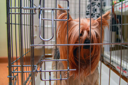 Yorkshire Terrier shaggy doggie in a cage. Intelligent pet Yorkies dog. 写真素材