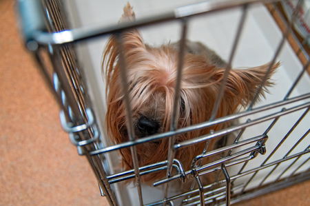 Yorkshire Terrier shaggy doggie in a cage. Intelligent Yorkies dog top view. Фото со стока