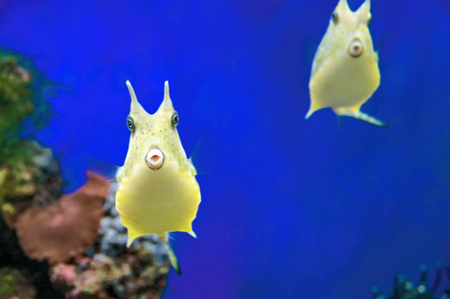 Cute Longhorn Cowfish ridiculous exotic coral fish. Yellow horned boxfish tropical funny fish on blue background.