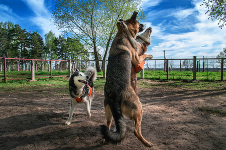 Dogs playing together off-leash. Siberian husky fuuny fight with big sheepdog. Happy dogs jump and jostle