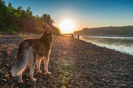 Dog looks at the sunset. Siberian husky on the shore of the evening summer river. Back view. Copy space. For cover, magazine, advertisement. Фото со стока