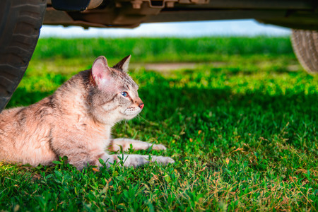 Cat lies in green grass. Portrait cute cat with blue eyes lies next to the car wheel. Outdoor shot at sunny day. Copy space. Stock Photo