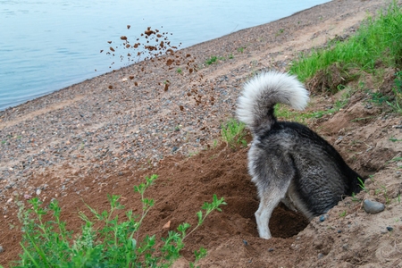 Dog digs hole in the sand on the beach. Clods earth flying from under his paws husky dog in different directions. Concept summer walk with pet by the river.