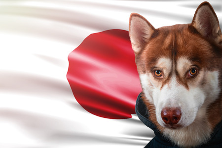 Patriotic dog proudly in front of Japan flag. Portrait siberian husky in sweatshirt in the rays of bright sun. National celebration concept.
