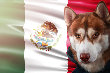 Patriotic dog proudly in front of Mexico state flag. Portrait siberian husky in sweatshirt in the rays of bright sun. National celebration concept.