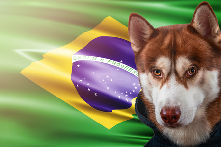 Patriotic dog proudly in front of Brazil state flag. Portrait siberian husky in sweatshirt in the rays of bright sun. National celebration concept.