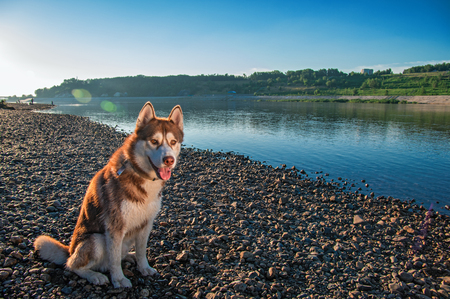 Cute Siberian husky sits on the bank against blue clear sky. Brown husky dog on walk in warm sunny evening. Summer peaceful landscape.