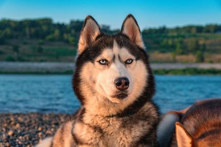 Portrait of Siberian husky dog. Standard-Bild
