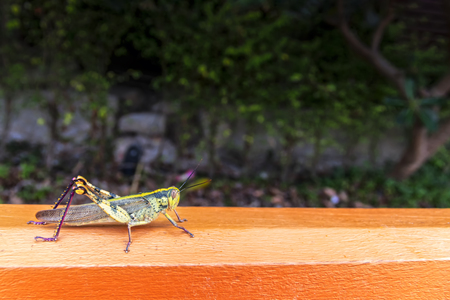 Big green locust on a wooden railing on dark background. Grasshopper macro photo. Copy space.