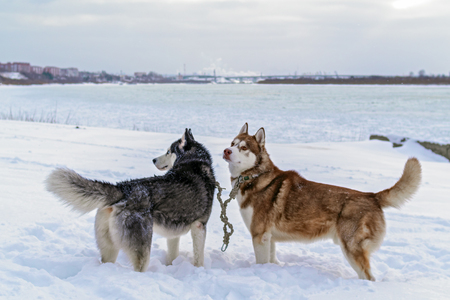 Two dogs husky in deep snow on the banks winter river. Siberian huskies dogs. Winter landscape of the Northern area. Side view. Archivio Fotografico - 113468747