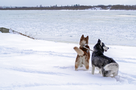 Two dogs husky in deep snow on the banks winter river. Siberian huskies dogs look at the ice floating on the big river. Winter landscape of the Northern area. rear view. Copy space. Archivio Fotografico - 113468464