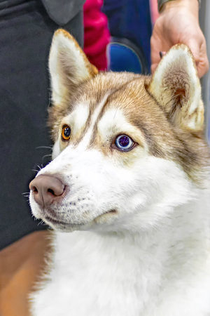 Portrait of young beautiful funny husky dog. Domestic pure bred siberian husky dog with pointy ears. Close up, multi-colored eyes