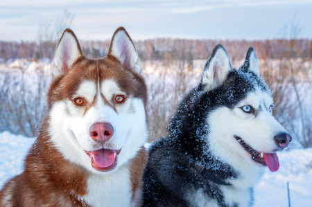 Happy dogs siberian husky. Closeup portrait. Funny snow Dogs face