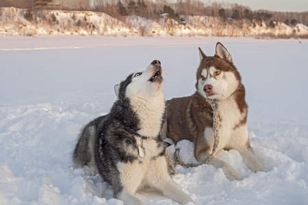 Two cute siberian husky dogs howls on snow 版權商用圖片