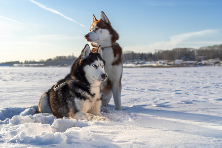 Two Siberian Husky dogs looks around.  Snowy white background. Winter Sunset