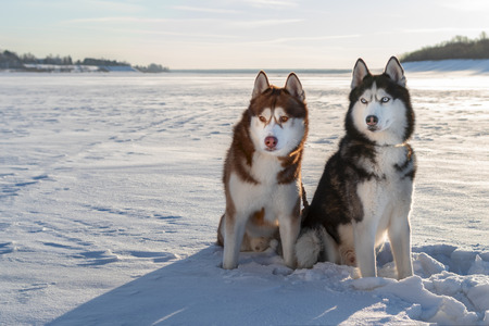 Two Siberian Husky dogs look forward carefully. Husky dogs black, red and white coat color. Snowy white background. Winter Sunset