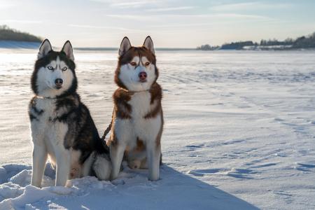 Two Siberian Husky dogs look forward carefully. Snowy winter background
