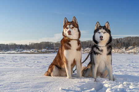 Dogs Sitting On Snow Covered Field. Siberian husky dogs