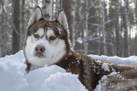 Portrait of brown siberian Husky dog on white snow background in dark winter forest.