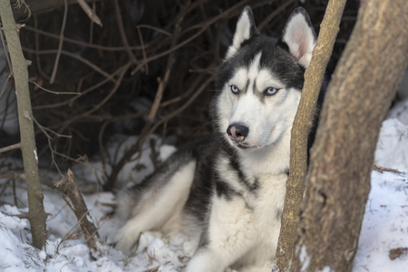 Siberian husky dog with blue eyes in winter forest. Dark bacground.