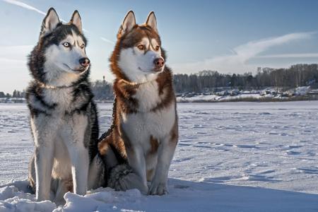 Two beautiful huskies walking on the winter beach. Siberian husky dogs on the snow