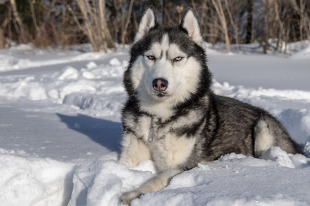 Husky dog in snow. Black and white Siberian husky with blue eyes