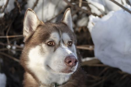 Portrait Siberian husky dog in sunny winter forest