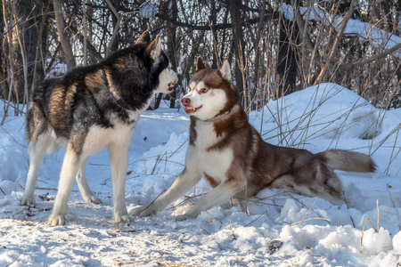 Siberian husky dogs playing in winter forest