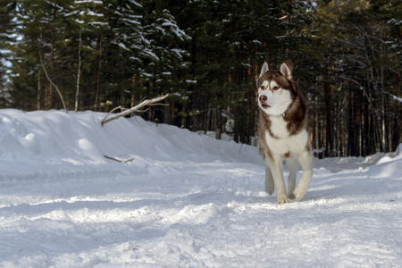 Dogsledding in a winter landscape in forest with husky dog.