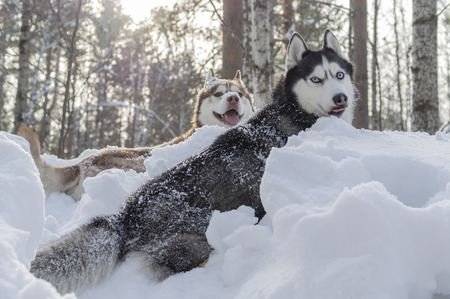 Two Siberian husky dogs lie in snowdrift in winter forest. Winter sunny portrait, front view.