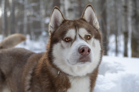 Brown Siberian husky dog in winter forest. Winter portrait, front view.