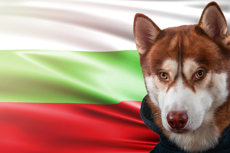 Patriotic dog proudly in front of Bulgaria state flag. Portrait siberian husky in sweatshirt in the rays of bright sun. National celebration concept.