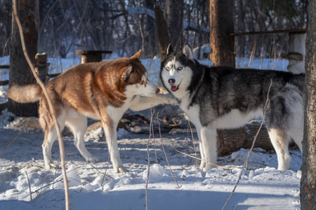 Husky Dogs playing in the winter forest. Siberian husky dog touches another dog inviting to play.