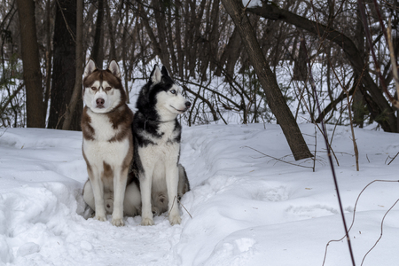 Two Awesome Siberian Husky dogs sit on snow in winter the forest. Copy space.