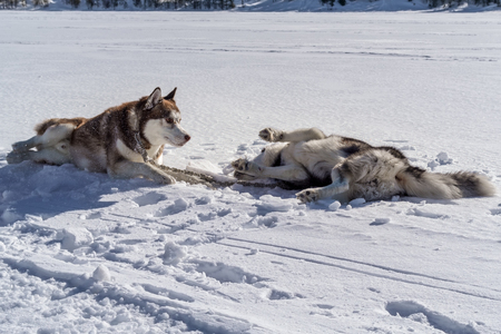 Dogs playing and lying in the snow. Siberian husky dogs have fun fighting on winter walk.