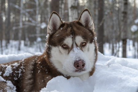 Husky dog winter portrait in snow. Front view