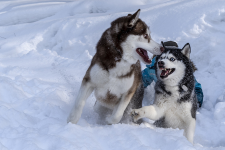 Dogs playing in the snow. Siberian husky dogs have fun fighting and biting on walk.