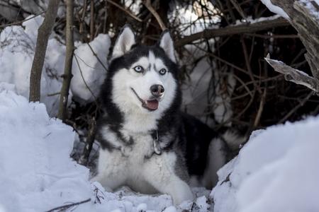Siberian Husky dog rest on snow. Amazing husky dog with blue eyes lie in the shelter. Winter pet portrait.