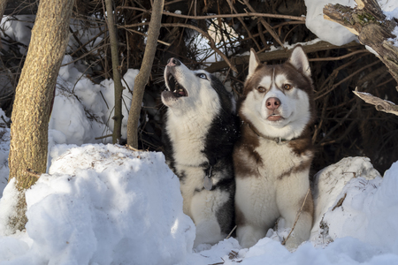 Funny dogs are hiding in snowdrift in the winter forest. Brown husky dog looks at the black howling Siberian husky. Funny cute dogs.