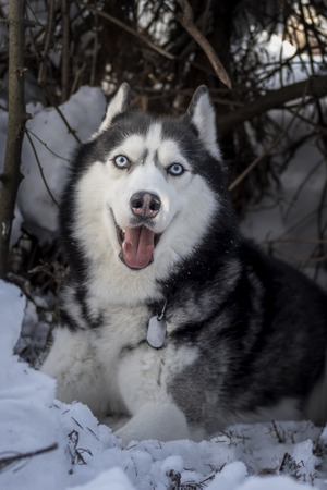 Siberian Husky dog. Winter portrait - husky dog smiling with his mouth open
