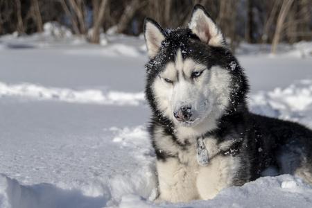 Husky dog. Siberian husky with blue eyes in snow