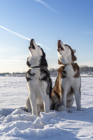 Beautiful Siberian huskies howl raising their muzzles up. Winter Sunny landscape with blue sky and white snow.