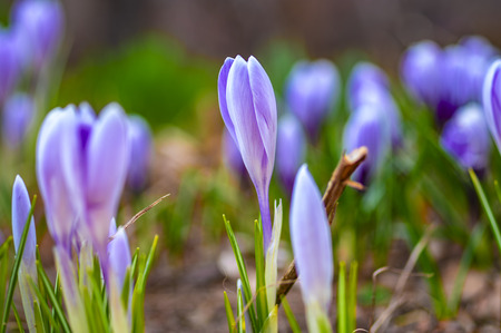 Field of spring flowers at sunset. Beautiful unopened buds of blue-violet color. Selective focus, close-up.