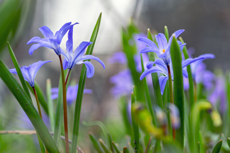 Beautiful blue flowers. Young spring flowers with delicate buds. Close-up. Stok Fotoğraf