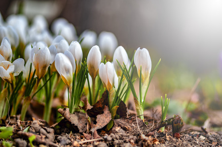 Beautiful white flowers in the contra light. Young spring flowers with unopened delicate buds.