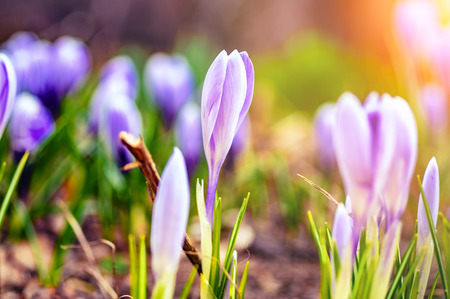 Spring blossom. Field of spring flowers at sunrise. Selective focus, close-up. Stok Fotoğraf
